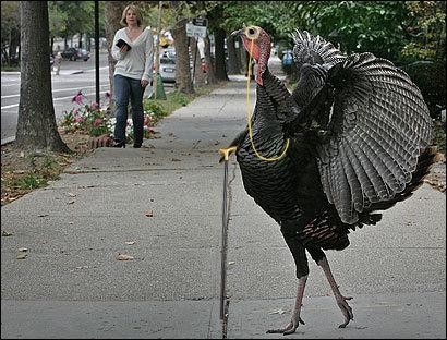 psbattle this majestic turkey photoshopbattles